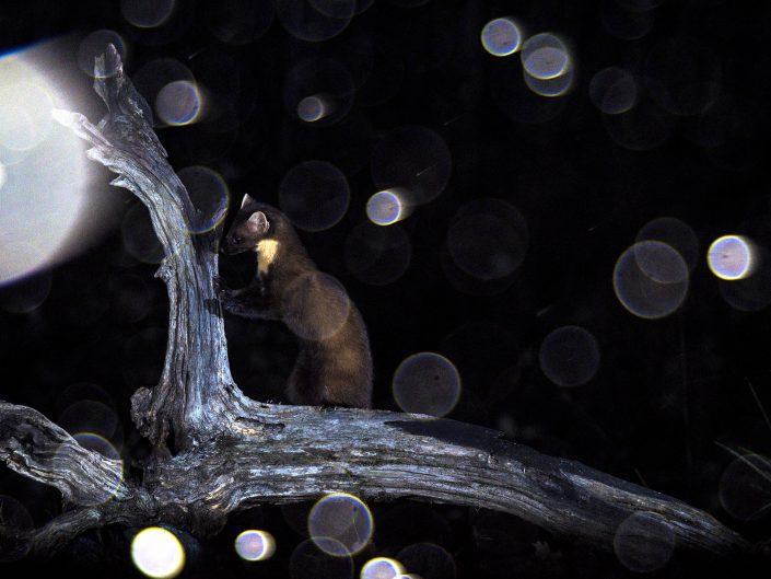 Una presenza è padrona della notte, la martora, abile scalatrice di tronchi e instancabile cacciatrice. Durante il Burian, così hanno voluto chiamare questa perturbazione che ha portato abbondanti nevicate anche alle quote più basse, e grazie ad un amico, sono riuscito a ottenere questo particolare scatto - Appennino Tosco Emiliano.