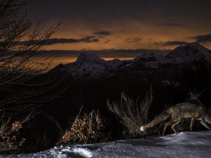 Nella notte serena il manto nevoso può dare asilo a piccoli mammiferi che trovano riparo dalle intemperie. Dopo un tentativo di caccia, probabilmente non andato a fine, questa volpe tenterà la sorte da un altra parte andandosene quasi sconsolata - Alpi Apuane.