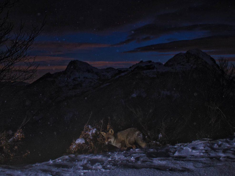 Una volpe rossa perlustra il proprio territorio poco dopo l'ora blu mentre una tormenta di neve spinta dai vicini Appennini si sta per abbattere inesorabile sulle cime Apuane - Alpi Apuane.