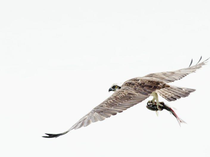 Un falco pescatore si libra sulle acque di uno stagno salato dopo la sua caccia in cerca di un angolo tranquillo dove consumare il proprio pasto - Sardegna.
