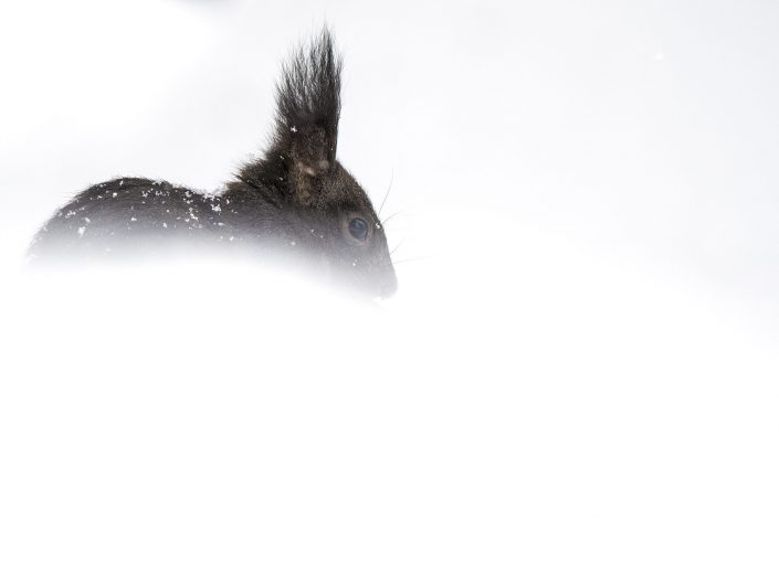 Nei pressi di un abetaia un folletto laborioso è al lavoro dopo un abbondante nevicata.La sua sopravvivenza dipenderà da molti fattori, dalla competizione con altri individui e la continua lotta per il territorio, dai predatori, dalla morsa del gelo in quello che è stato uno degli inverni più rigidi degli ultimi anni - Alpi Apuane.