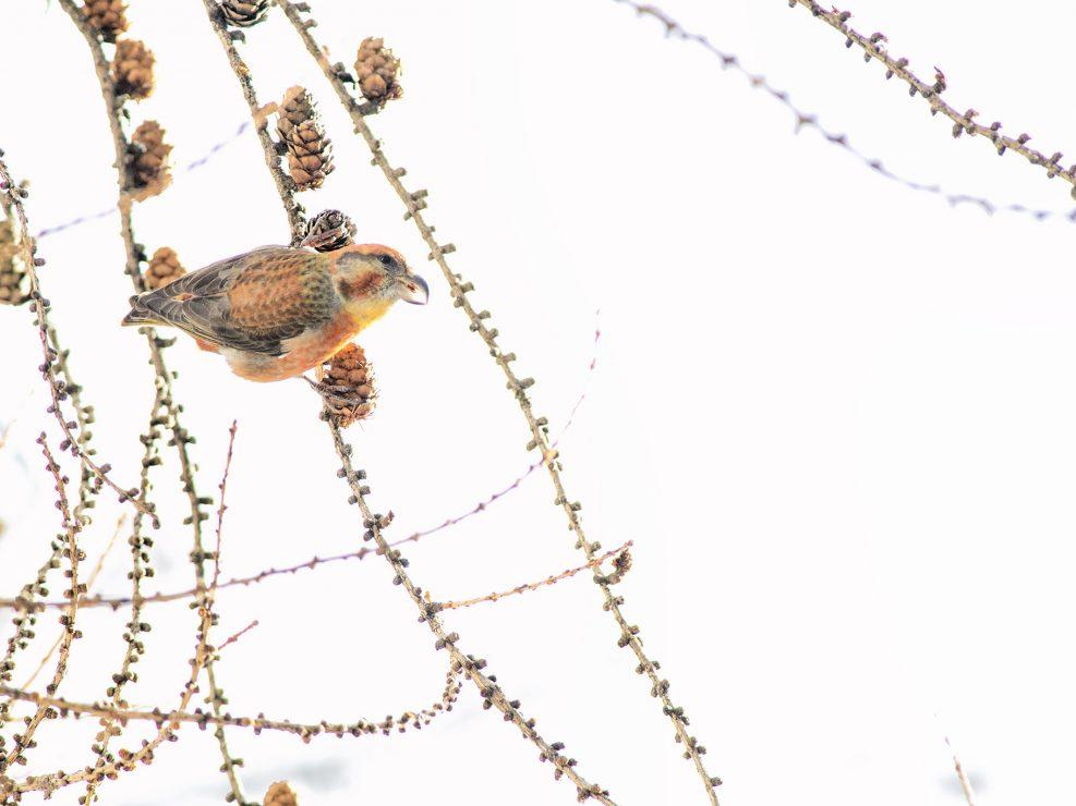 """Sognati, cercati e a lungo """"desiderati"""" o incontrato i Crocieri sulle Spettacolari Alpi Svizzere. Dalla forte specializzazione, non passa di certo inosservato il particolare becco a fora di falce ricurva e incrociata utilissimo per l'estrapolazione dei semi dalle """"pigne"""" delle sequoie, è solito perlustrare in gruppo gli alberi alla ricerca di cibo. Qui indaffarato tra le fronde di un larice."""
