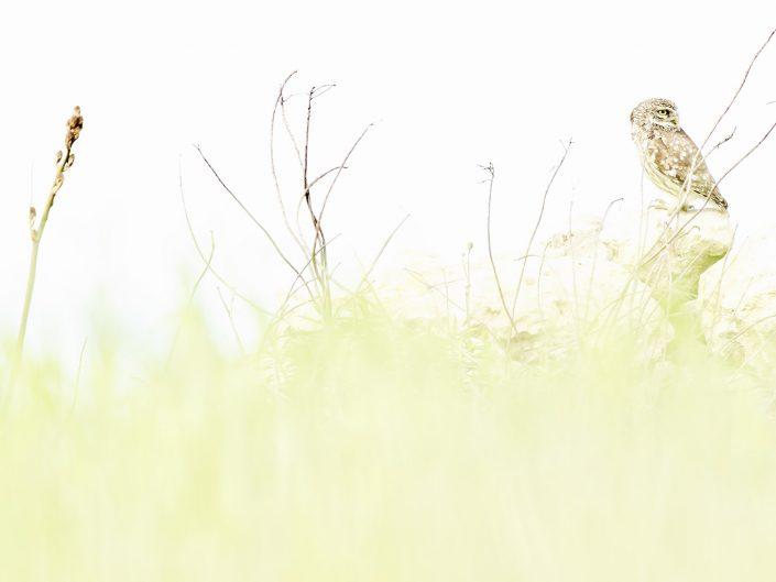 Associata all'oscurità della notte questo splendido rapace si gode la tiepida aria mattutina su uno dei suoi posatoi preferiti, tra asfodeli e la lussureggiante vegetazione che la protegge da occhi indiscreti - Sardegna.