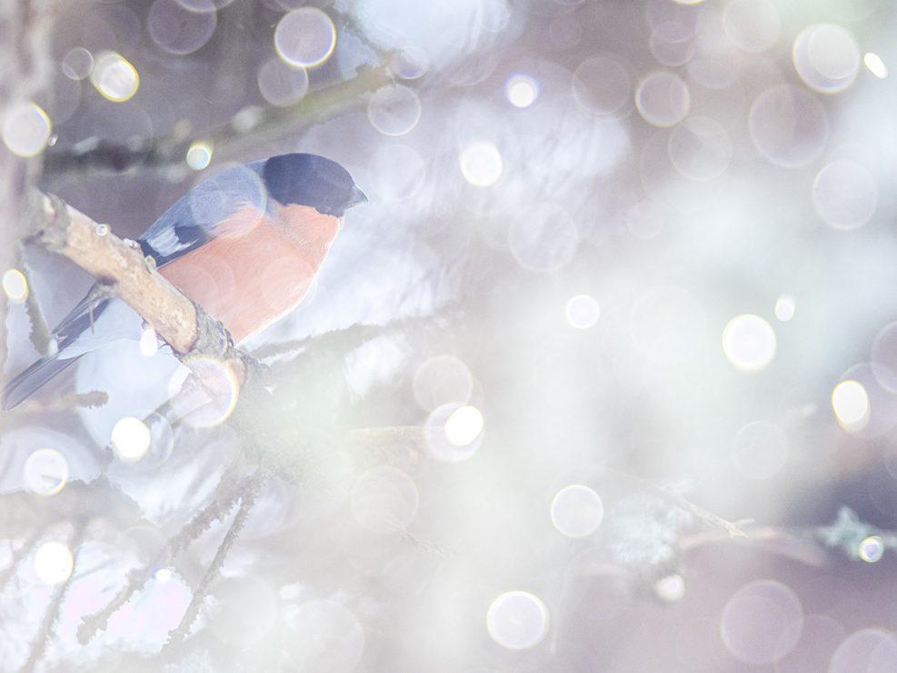 """Il ciuffolotto è uno sgargiante fringillide dallo spiccato dimorfismo sessuale, il maschio differisce essenzialmente dalla femmina per la particolare colorazione """"rosata"""". Abitante dei boschi misti è solito nutrirsi di semi e faggiole che riesce facilmente ad aprire grazie al suo robusto becco - Alpi Svizzere."""
