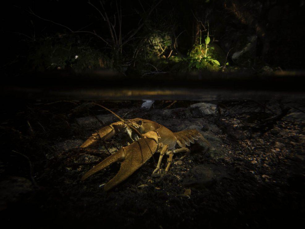 """Durante il progetto che ha portato alla realizzazione del libro """"Apuane terre selvagge"""" una delle ultime sfide prima di terminare l'impaginato del libro era il poter ritrarre questo magnifico abitante dei fiumi nel suo ambiente."""