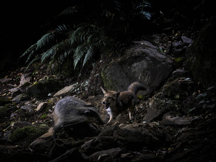 """Durante il progetto che ha portato alla realizzazione del libro """"Apuane terre selvagge"""" con l'ausilio di particolari tecniche di foto trappolaggio ho potuto immortalare questo indimenticabile momento di vita nei boschi."""