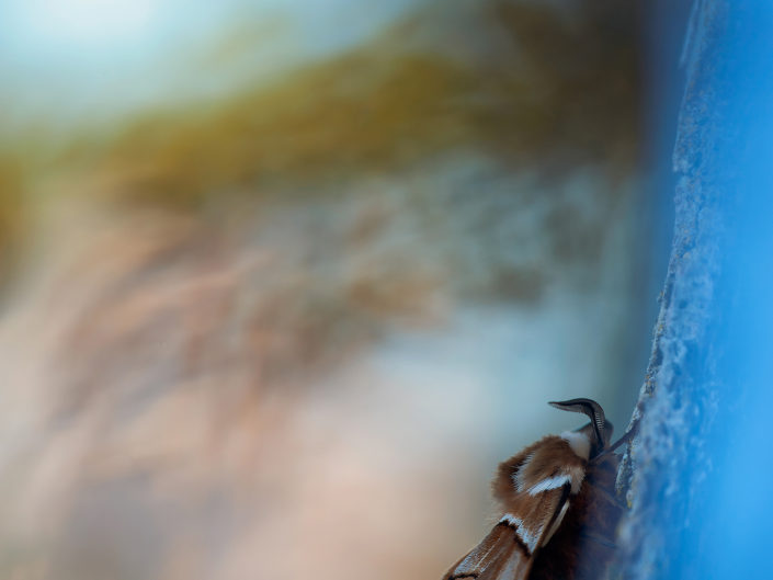 Questa variopinta falena attende la notte per le sue evoluzioni e per sfoggiare la sua sgargiante livrea.Anche un semplice tronco può ripararla dal sole e dai predatori in pieno giorno - Garfagnana.