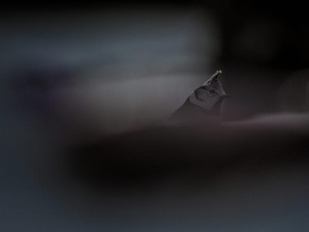 In uno degli inverni più gelidi e significativi che abbia mai investito la catena una cincia razzola ai piedi di una conifera in cerca di larve o altro cibo da poter consumare - Alpi Apuane.