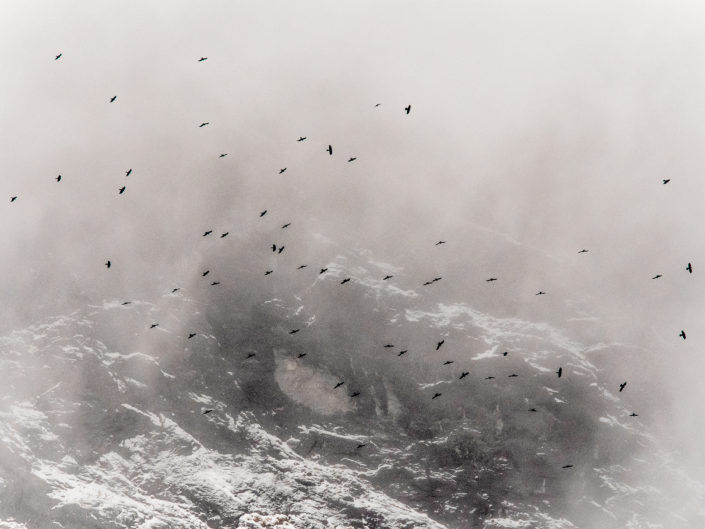 Uno stormo di Gracchi alpini vaga nei gelidi territori dell'Aquila tra gelide nebbie e cenge inaccessibili - Alpi Apuane.